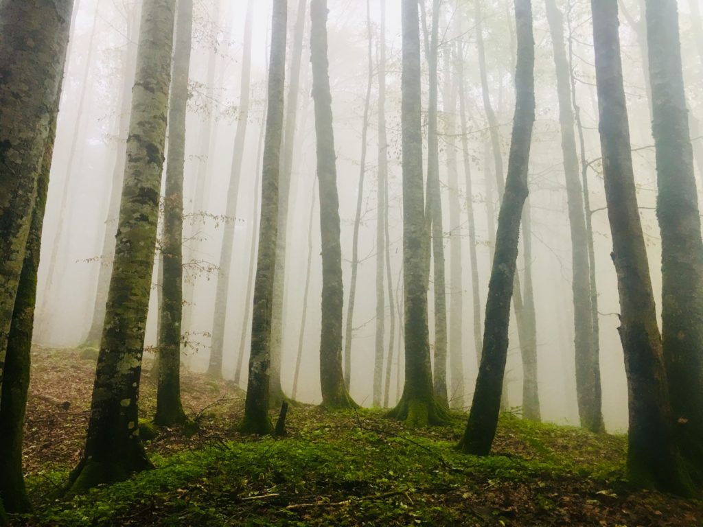 Baumstämme umspielt von dichtem Nebel.