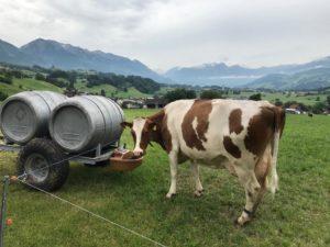 Eine Kuh beim Trinken, sie sieht interessiert zum Betrachter.