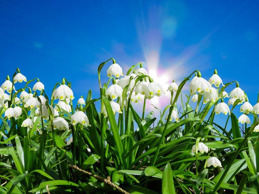 Blühende Märzenbecher vor blauem Himmel.